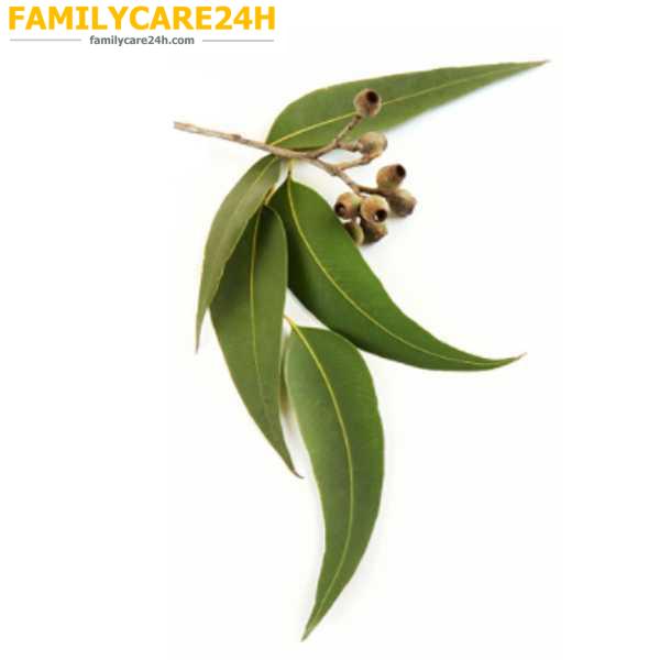 Eucalyptus Radiata - Bạch đàn